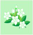 Jasmine flower vector image