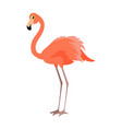 pink flamingo wading bird vector image