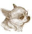 engraving chihuahua head vector image vector image