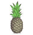 fresh pineapple hand drawn isolated icon vector image