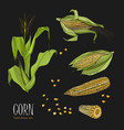 set of corn plant colorful hand drawn collection vector image