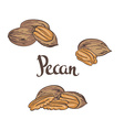 Dried Pecan nuts isolated on a white background vector image