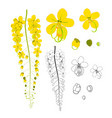 cassia fistula - gloden shower flower with sketch vector image