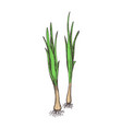 green onion hand drawn isolated icon vector image