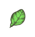 green salad herb hand drawn isolated icon vector image