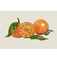 fresh ripe oranges with leaves vector image