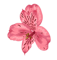 bright pink alstroemeria with watercolor effect vector image