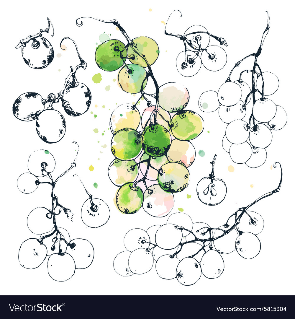 Ink drawn grapes vector