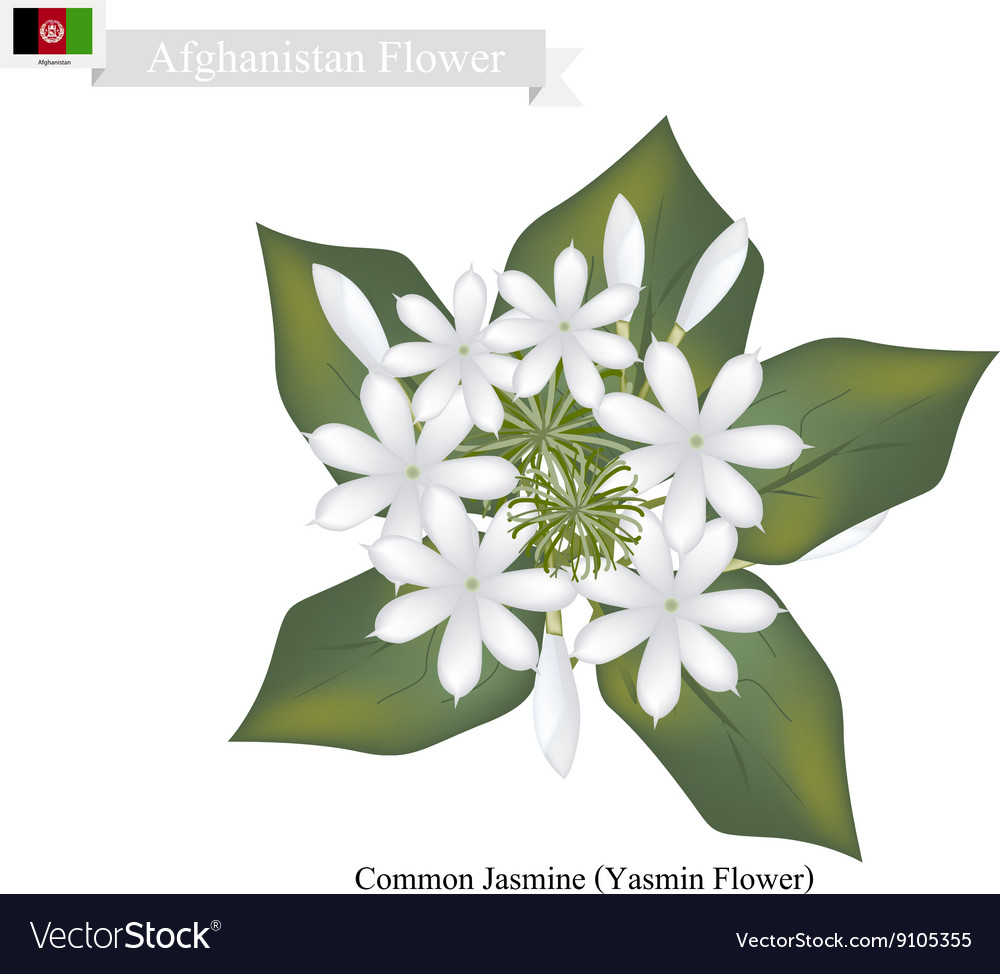 Common jasmine the national flower of afghanistan vector