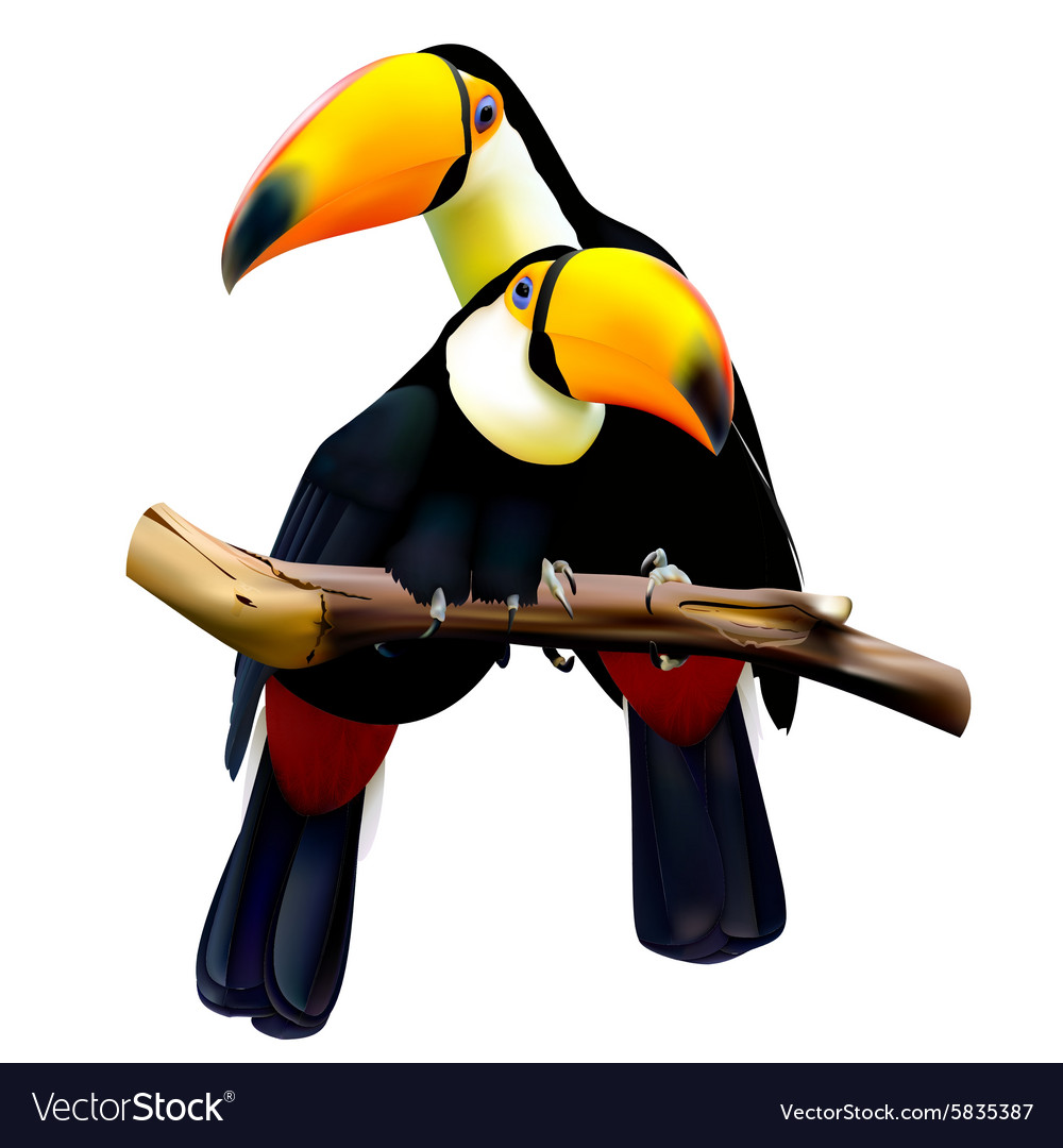 Toco toucans sitting on the branch vector