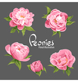 fragrant peonies vector image