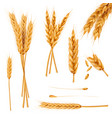 wheat ears and seeds realistic collection vector image