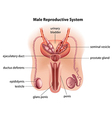 Anatomy of the male reproductive system vector image