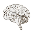 Structure of human brain section schematic vector image