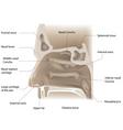 nose anatomy vector image vector image