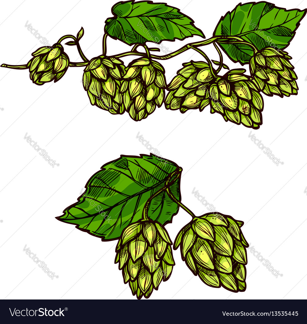 Hops plant branches flowers and cones vector