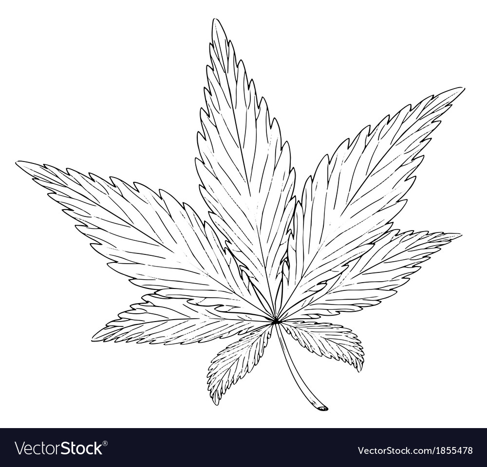 Leaf of the plant cannabis sativa vector
