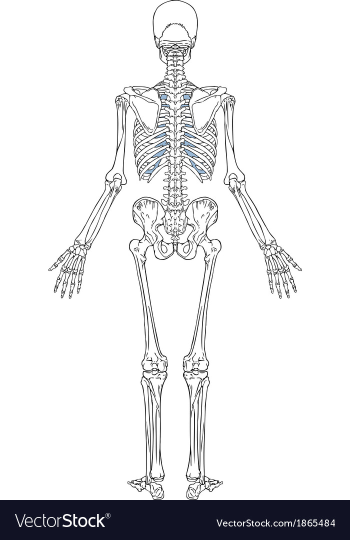 Human skeleton back view vector