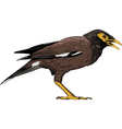 common myna vector image vector image