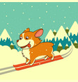 dog skiing on winter mountains background vector image