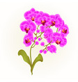branches orchid phalaenopsis purple flowers vector image