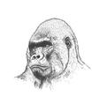 Gorilla portrait vector image