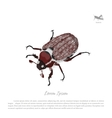 Brown chafer on a white background vector image