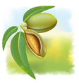 almonds branch vector image