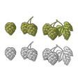 hop herb plant with leaf vintage engraved vector image