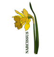 Yellow narcissus in vector image