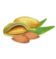 ripe almonds vector image vector image