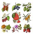 set berries raspberry blueberry sea buckthorn vector image