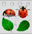 close-up realistic ladybugs water drops vector image