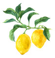 Watercolor lemon tree branch vector image