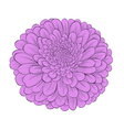 flower chrysanthemum isolated on white vector image