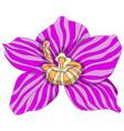 pink striped phalaenopsis vector image