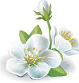 cherry flower vector image