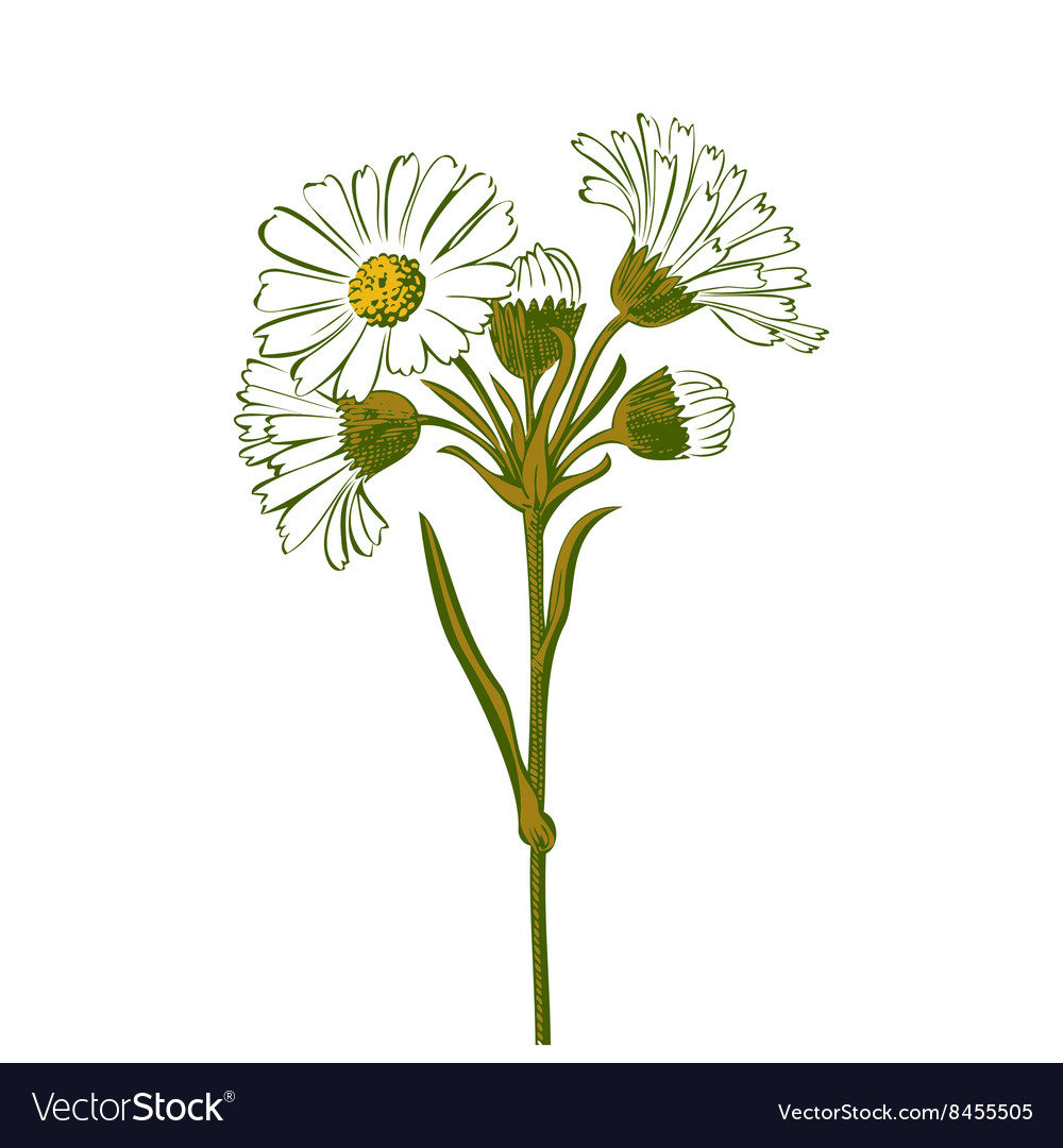 Hand drawn colorful bouquet of chamomile flowers vector
