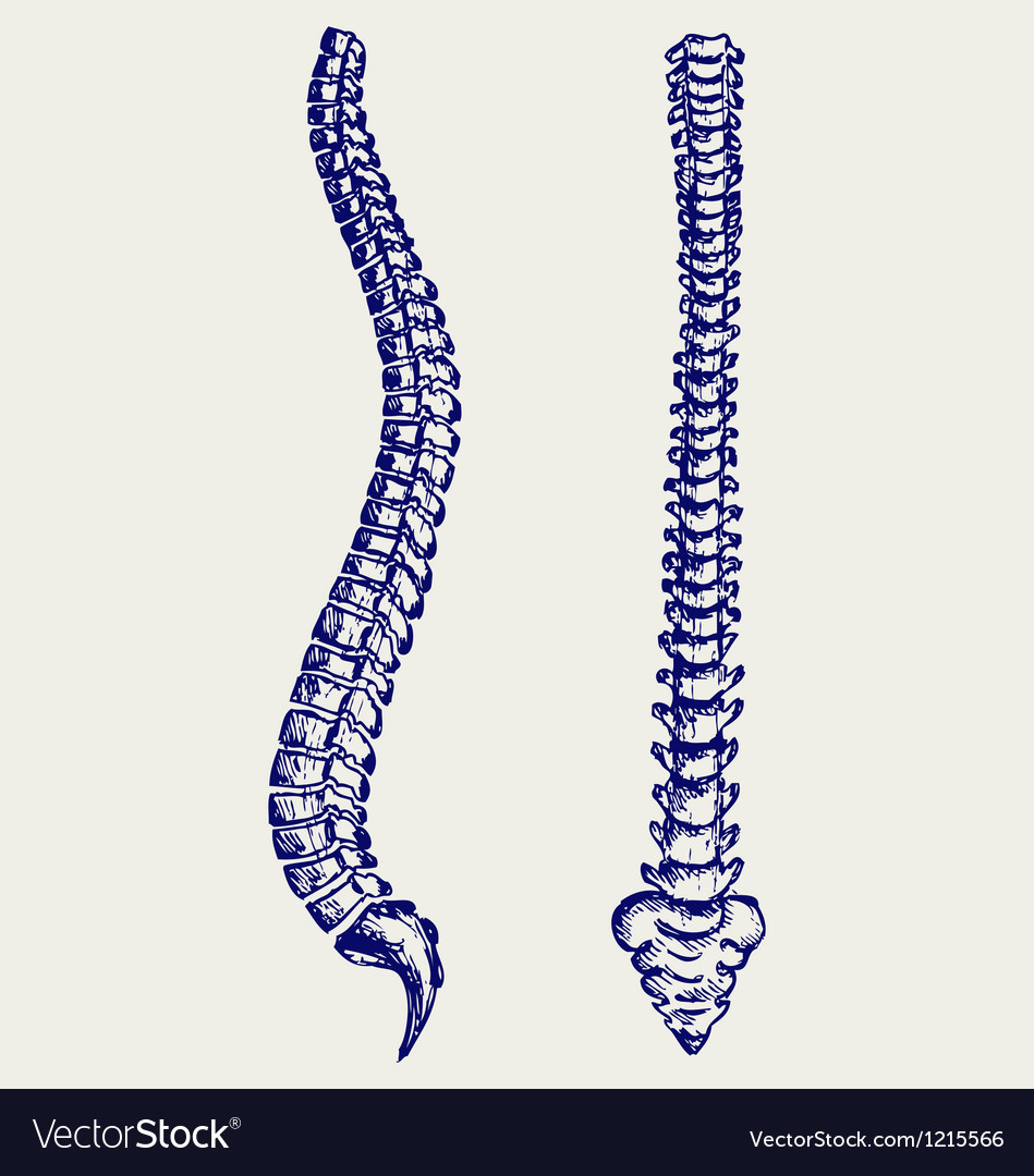 Human anatomy spine vector