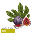 figs fruits with leaves vector image