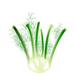 A Fennel Bulb on A White Background vector image