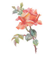 beautiful hand drawn watercolor red rose on white vector image