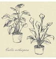 flowers calla lilies vector image