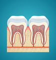 Two healthy human tooth in cutaway vector image
