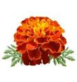 marigold tagetes vector image vector image