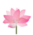 realistic detailed pink lotus flower vector image