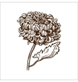 Chrysanthemum flower isolated on white vector image