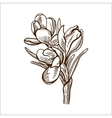 Crocuses flower isolated on white vector image vector image