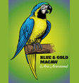 hand drawing of blue and gold macaw bird vector image