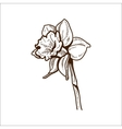 Narcissus flower isolated on white vector image vector image